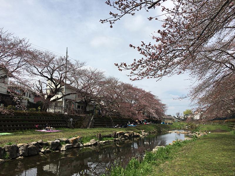 野川沿いでお花見(2017)