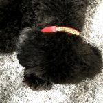 愛犬用の首輪を購入しました