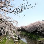 野川の桜(調布市)